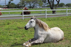 White horse lies down Royalty Free Stock Photo
