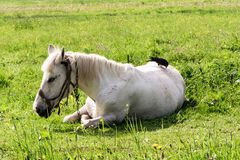 White horse lies on the grass, the crow plucks the pile from the horse`s back. The white horse lies on the grass, the crow plucks the pile from the horse`s back Royalty Free Stock Photo