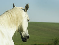 White horse with light mane standing in a green field Stock Photos