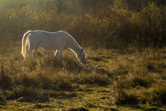 White Horse in Light of Sun Stock Photo