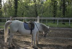 White horse lipizzaner in the forest. Waiting for raider in the sunset Royalty Free Stock Image