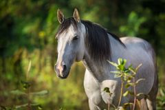 White horse with long black mane. Close up portrait in summer day royalty free stock photo