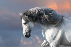 White horse with long mane. Andalusian horse with long mane run gallop close up royalty free stock photo