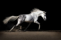 White horse with long mane Stock Images