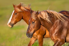 White horse with long mane run. Two horse portrait with long blond mane in motion run in green pasture Stock Photography