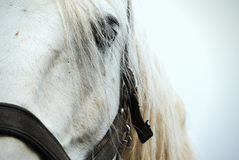 White horse look. Blue eye of white horse Royalty Free Stock Photos