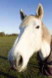 White horse looking at the camera Royalty Free Stock Photo