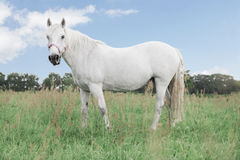 White horse looking directly into the camera, standing in the fields. On background blue sky with clouds and sun Royalty Free Stock Photos