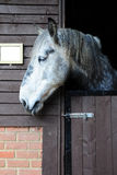 White horse looking out of its stable door Royalty Free Stock Images