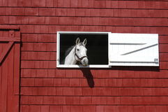 White horse looking out of red barn window Royalty Free Stock Photo