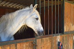A White Horse Looking Out Of A Stable Stock Image