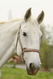 White horse looks. Large White horse in a corral looking Royalty Free Stock Images