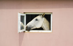 white horse looks out of window of pink stable royalty free stock image