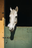 White horse looks Royalty Free Stock Photos