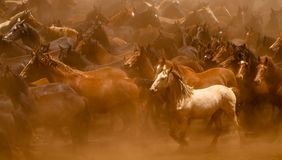 The White Horse. Lots of Wild horses running in the african dust Royalty Free Stock Photos
