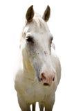 White horse Royalty Free Stock Image
