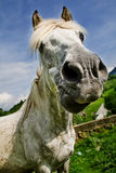 White horse making a funny face Royalty Free Stock Photos