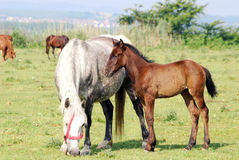 White horse mare and brown foal Royalty Free Stock Photo