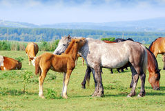 White horse mare with foal Royalty Free Stock Photos