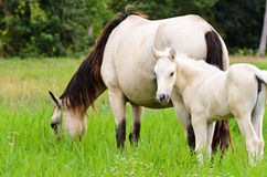 White horse mare and foal in a grass Stock Image