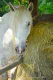 White Horse Mare Hay Bale Grazing Royalty Free Stock Photography