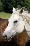 White Horse in Meadow Royalty Free Stock Photo