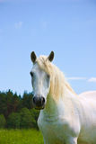 White horse on meadow Stock Photo