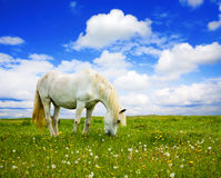 White horse on meadow Royalty Free Stock Photography