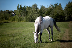 White horse on the meadow Stock Photos