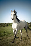 White horse in the meadow Stock Photography