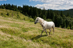 White horse on the meadow. Stock Image