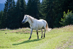White horse on the meadow. Stock Photo