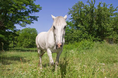White horse. The white horse is on a meadow Royalty Free Stock Photos