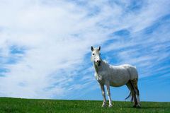 White horse on the meadow. Royalty Free Stock Photos