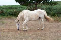 White horse in the meadow Royalty Free Stock Photography