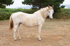 White horse in the meadow Royalty Free Stock Image