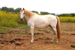 White horse in the meadow Royalty Free Stock Images