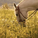 White horse on the meadow Royalty Free Stock Images