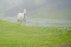 White Horse Royalty Free Stock Image