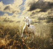 White horse on the meadow. Free horse galloping across the blossoming meadow Stock Photography