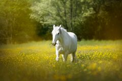 White horse in a meadow full of yellow flowers stock images