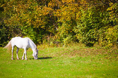 White horse in a meadow. Stock Photo
