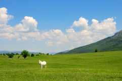 White horse in a meadow Stock Images
