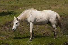 White horse in a meadow Stock Photo
