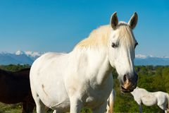 White horse in the meadow, the Pyrenees mountains in the backgro. A white horse in the meadow, the Pyrenees mountains in the background Stock Images