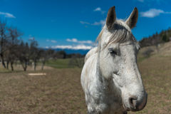 White horse. On meadow under Slovenian Alps Royalty Free Stock Images