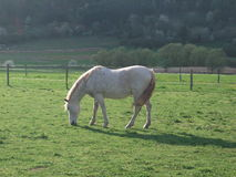White horse in the meadwow Royalty Free Stock Photography