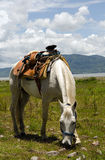 White horse with Mexican saddle grazing Stock Photos