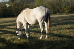 White Horse Morning Grazing royalty free stock photography