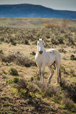 White horse in morning running free on sage brush prairie. Stock Photography